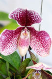 Orchid. Colorful orchid blooming in the garden Stock Photography