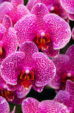 Orchid. Colorful orchid blooming in the garden Stock Images