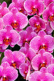 Orchid. Colorful orchid blooming in the garden Stock Image