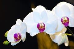 orchid Στοκ εικόνα με δικαίωμα ελεύθερης χρήσης
