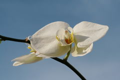 Orchid. White orchid on the blue sky Stock Images