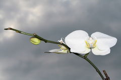 Orchid. White orchide on the dark sky Stock Images