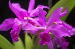Orchid_01 Fotografie Stock Libere da Diritti