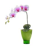 Orchid. Isolated orchid on a green porcelain pot Stock Photos
