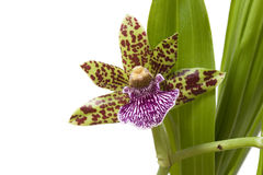 Orchid. Blooming orchid with cute tiger-striped flowers Royalty Free Stock Photo
