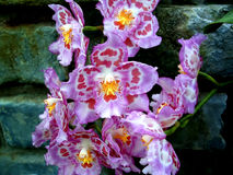 Orchid 5. Purple orchids with a distinctive pattern against a stone wall Royalty Free Stock Photos