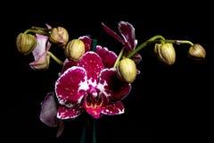 Orchid1 免版税库存图片