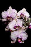 Orchid2 库存照片