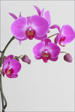 Orchid. Charming Orchid on the White Background Stock Photo