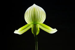 Orchid. Australian native, beautiful and most interesting flower stock image