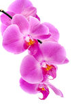 orchid Arkivfoto