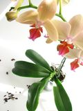 Orchid. Yellow orchid in glass pot Royalty Free Stock Photography