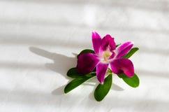 Orchid_01 库存图片