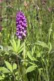 Orchid. Marsh Orchid in nature reserve on the Sefton Coast, UK Stock Photo