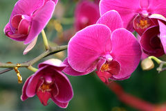 Orchid. The beautiuful orchid look like the butterfly Stock Photo