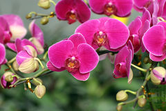Orchid. The beautiuful orchid look like the butterfly Royalty Free Stock Photo