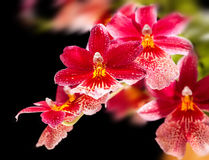 Free Orchid Stock Images - 55080354