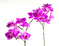 Orchid. Fresh orchids with white background Royalty Free Stock Photography