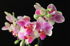 Free Orchid Stock Image - 57704521