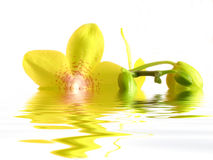 Orchid. Yellow Orchid in the water Stock Photos
