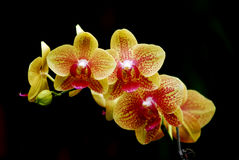 Free Orchid Stock Photo - 6317090