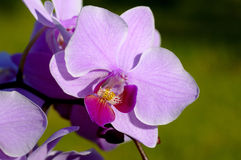 Orchid. Detail of a beautiful orchid royalty free stock images