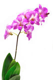 Orchid. Isolated on white background Stock Photography