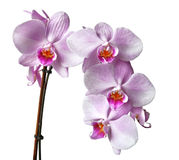 Orchid. Twig isolated on white background Stock Photo
