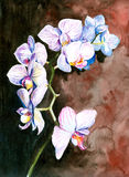 Orchid. White orchid watercolor painted.Picture I have painted myself Stock Photos