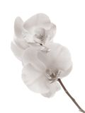 The orchid. The white orchid in high-key Royalty Free Stock Images