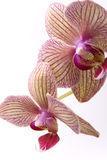 Orchid. Branch of beauty flower orchid on white Royalty Free Stock Photo