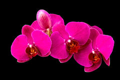 Orchid. On black background orchid flower isolate Royalty Free Stock Photography