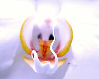 Orchid. Spc Royalty Free Stock Photography