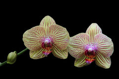 Orchid. Two orchids on black background Royalty Free Stock Photos