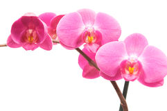 Orchid. Purple orchid isolated on white background Stock Image