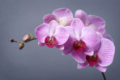 Orchid. Pink orchid on grey background Stock Image