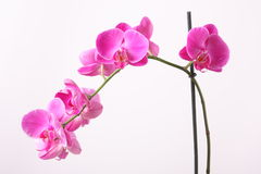 Orchid. Pink orchid on white background Royalty Free Stock Photography