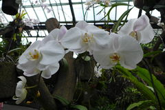 THE ORCHID Royalty Free Stock Photography