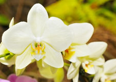 Orchid on the abstract blurred background Royalty Free Stock Image