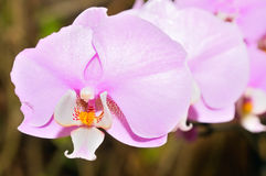 Orchid on the abstract blurred background Royalty Free Stock Photos