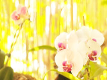 Orchid on abstract blurred background Royalty Free Stock Photos