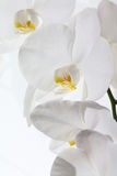 Orchid against white Background Royalty Free Stock Photos