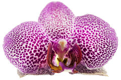 Orchid against white background Stock Photo