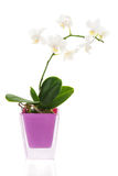 Orchid arrangement centerpiece in vase isolated on whi Royalty Free Stock Photo