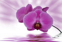 Orchid Aurora royalty free stock photo