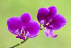 Orchid background Royalty Free Stock Photo