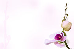 Orchid background on stem backdrop Royalty Free Stock Image