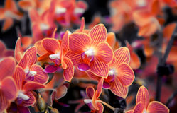 Orchid background Royalty Free Stock Photography