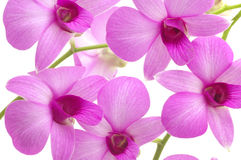 Orchid background on white Royalty Free Stock Image