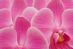 Orchid bckground Royalty Free Stock Photos